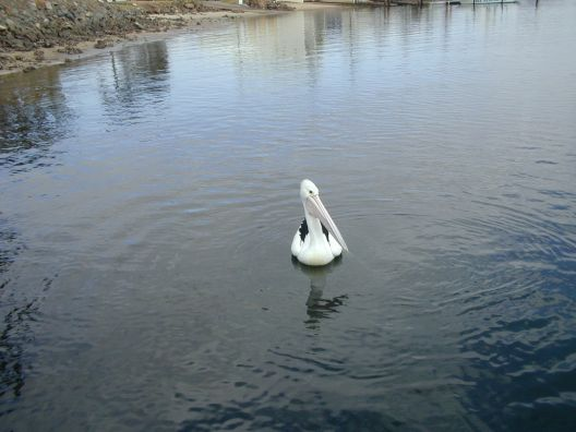 a nice pelican, swimming by ...